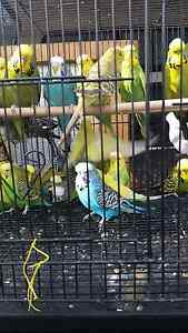 Birds For Sale FROM $7.50 Warragul Birds For Sale Warragul Warragul Baw Baw Area Preview