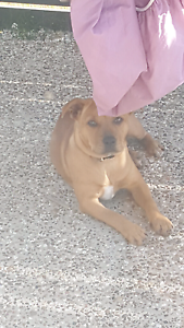 18 week old staffy puppy Coomera Gold Coast North Preview