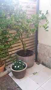 Lime tree in a half wine barrel Scarborough Stirling Area Preview