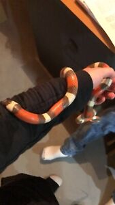Female milk snake