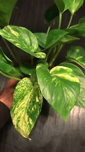 Golden Pothos potted