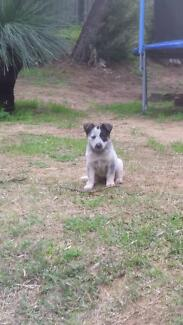 Cattle dog 6mths to good home ONLY