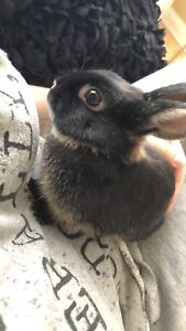 Dwarf bunny 6 months old for sale