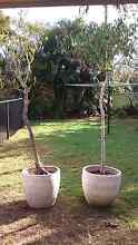 Two free fig trees Mermaid Beach Gold Coast City Preview