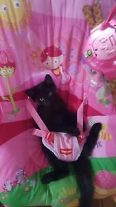 Kitten give away female 10 weeks old
