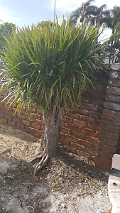 FREE MEXICAN YUCCAS X 3 Elanora Gold Coast South Preview