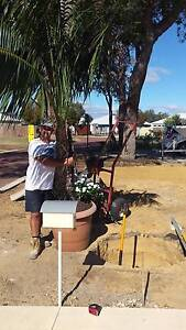WANTED KENTIA PALM OR GOLDEN CANE PALM Will Remove for Free Mandurah Mandurah Area Preview