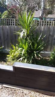 Large yucca Nunawading Whitehorse Area Preview