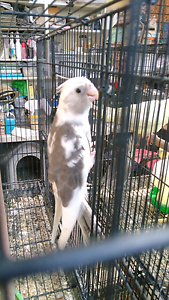 Hand raised cockatiels $65 Mount Warrigal Shellharbour Area Preview
