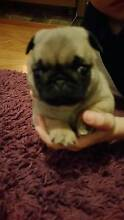 Pug Puppy For Sale. Port Pirie Port Pirie City Preview
