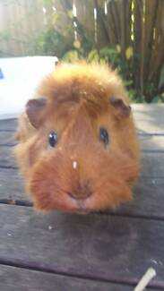 2 male guinea pigs for sale with cage Wahroonga Ku-ring-gai Area Preview