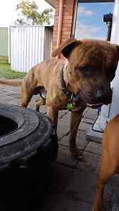 American staffy x Browns Plains Logan Area Preview