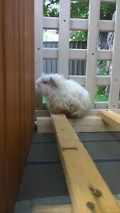 Guinea Pigs Family (Mother & two sons) Wyoming Gosford Area Preview