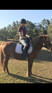 Welsh Mountian Mare, 13.2hh, sporting suited