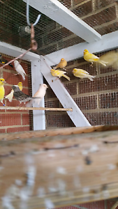 CHEAP !!!! Canerys and gold finches Keilor Park Brimbank Area Preview