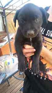 Staffy x border collie pups 8 weeks old Hebersham Blacktown Area Preview