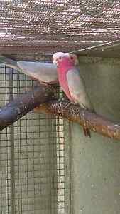 Breeding pair galahs Anketell Kwinana Area Preview