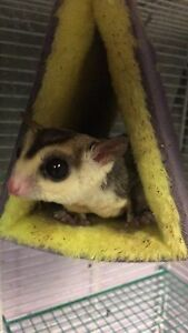 Adorable bonded sugar glider pair