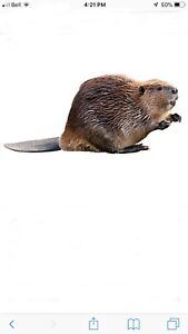 Wanted beaver for taxidermy