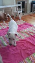 Puppy for Sale - bull terrier x am Staffy Ferryden Park Port Adelaide Area Preview