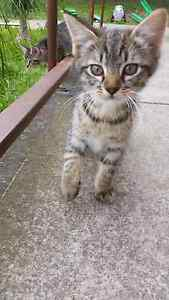 1 beautiful male kitten ready to go today Elermore Vale Newcastle Area Preview