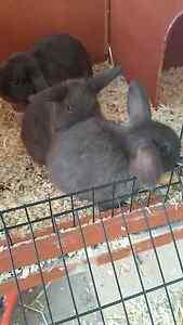 Baby bunnies Kearsley Cessnock Area Preview