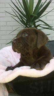 Labrador chocolate  X American bulldog two litters   Point Cook Wyndham Area Preview