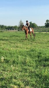 3 year old thoroughbred for sale