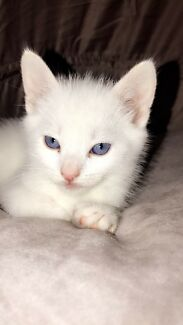 Wanted: WANTED : white kitten