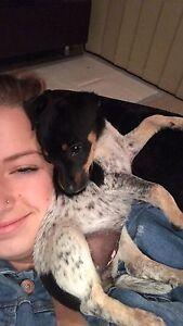 Mini Fox Terrier Pup Lambton Newcastle Area Preview