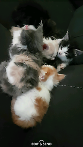 Hand raised kittens Elizabeth Downs Playford Area Preview