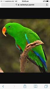 Lost bird Parrot Mirrabooka Mirrabooka Stirling Area Preview