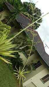 Agave spike full of sucklings Mount Gravatt East Brisbane South East Preview