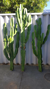 Euphorbia Cuttings Yokine Stirling Area Preview