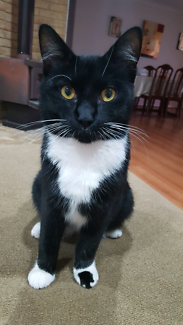 Lost cat from friday morning black and white name Zorro.