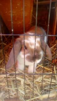 Lop ear bunny and cage