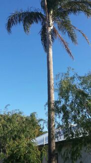 Palm tree for sale Cranbourne East Casey Area Preview
