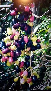 BLACK JAVA PLUM ( LUMBOY IN PHILIPPINE) PLUS MANY MORE PLANTS