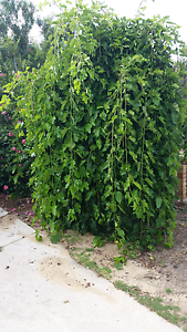 Two  weeping mulberry trees Kingsley Joondalup Area Preview