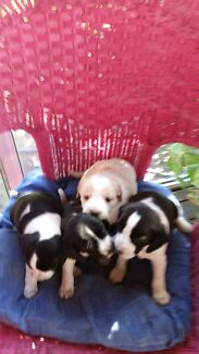For Sale Cocker Spaniel x Foxy x Chihuahua  puppies Tarome Ipswich South Preview