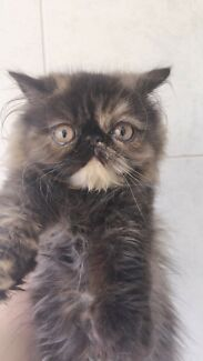 Chocolate tortie Persian girl for pet only
