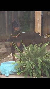 Doberman pups available end of August