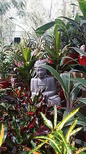 Instant Balinese Garden: Crotons, Cordylines, Calatheas etc. Park Ridge Logan Area Preview