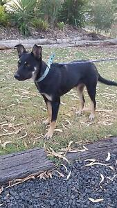 Border collie/kelpie pup Dalby Dalby Area Preview