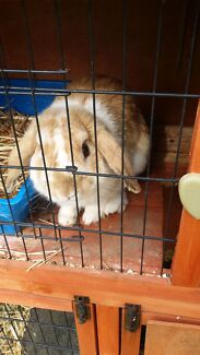potentally sold pending pick up Free to good home mini lop  Para Hills Salisbury Area Preview