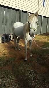 Grey Welsh Pony Rosewood Ipswich City Preview
