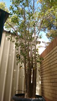 Ficus plant Tapping Wanneroo Area Preview