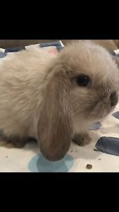 34 BEAUTIFUL BABY BUNNIES TO CUDDLE:)) Burnside Melton Area Preview