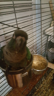 Hand reared Conures