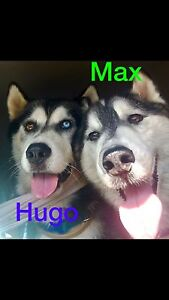 2 x Male Siberian huskies for sale Regency Downs Lockyer Valley Preview